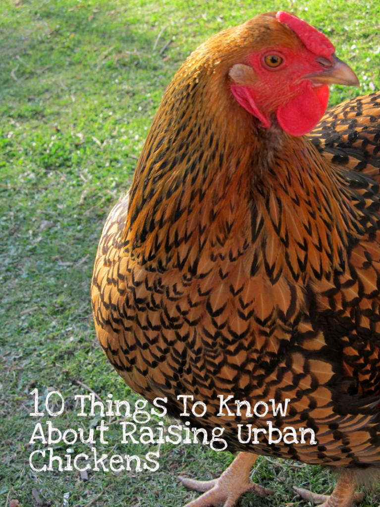 Raising Urban Chickens and What You Need to Know ... Raising Chickens